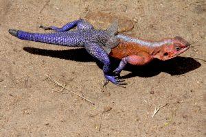 photo 189 agama lizard