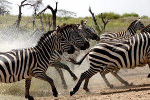 photo 236 zebra